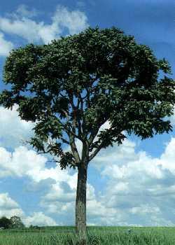 Image result for arbol de cedro en guatemala